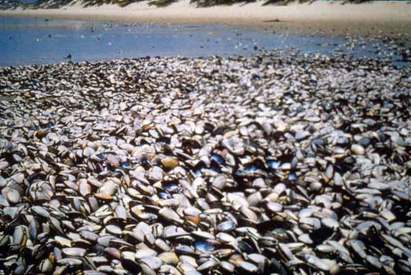 alexandrium clams