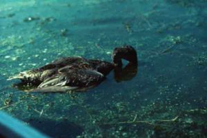 Anabaena bloom - dead duck