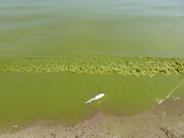 Dead fish - Lake Erie