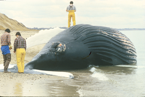 dead_whale_550_46588.jpg