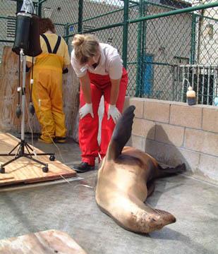 Domoic sea lion