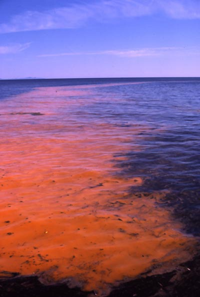 Red Tide Bloom in the Sea of Cortez, Mexico