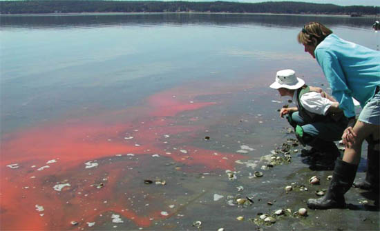 The Beach Watchers volunteer group observes a bloom of Noctiluca - a non-toxic red tide alga. This group, sponsored by Washington State University, is dedicated to protect and preserve the fragile environment of Puget Sound through research, education, public awareness, and example. (M. Adams)