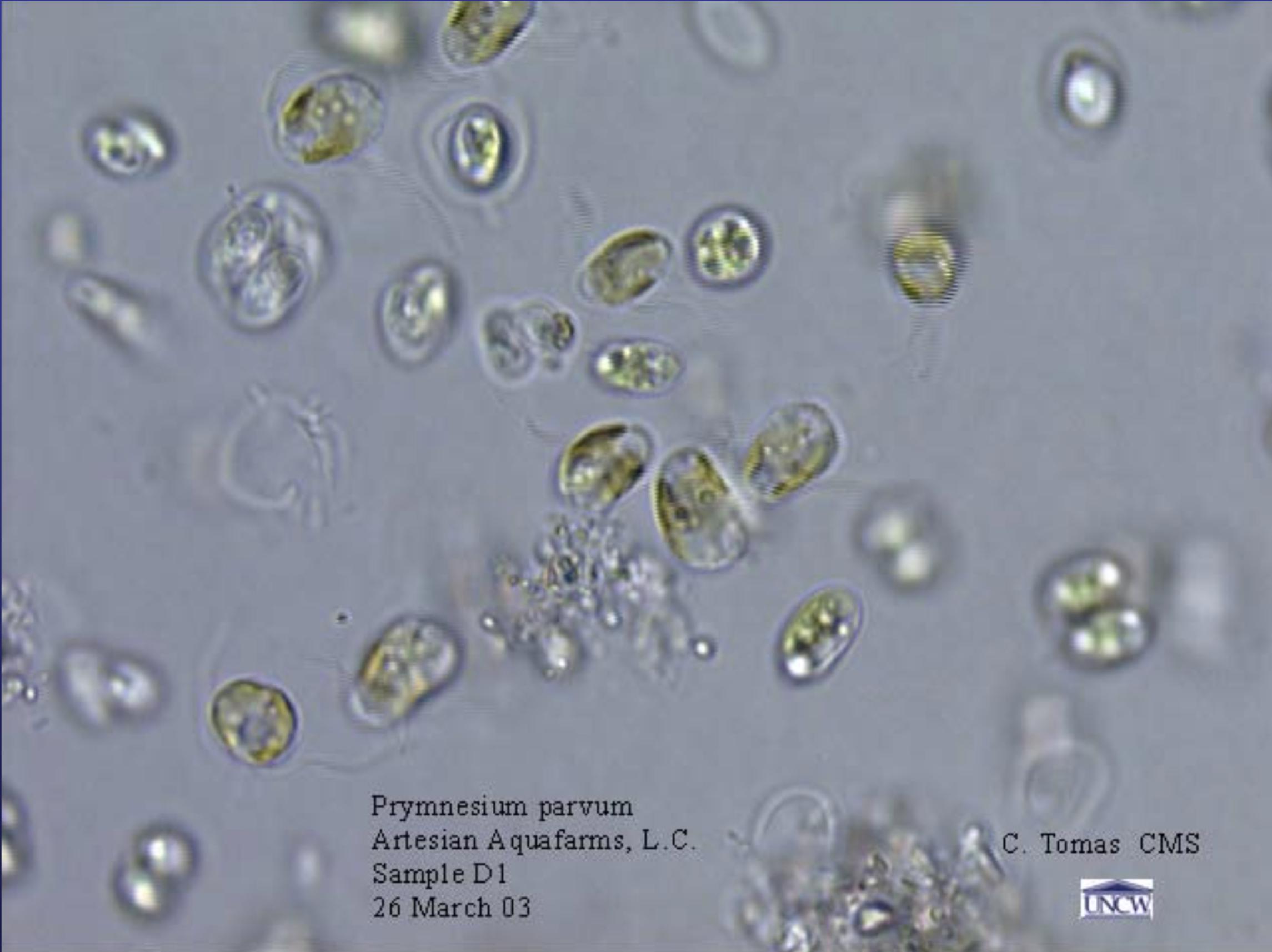 <i> Prymnesium  parvum </i> cells,  Texas Parks and Wildlife Department