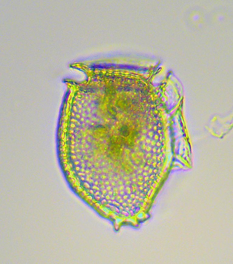 <i> Dinophysis norvegica </i>, C. Heil