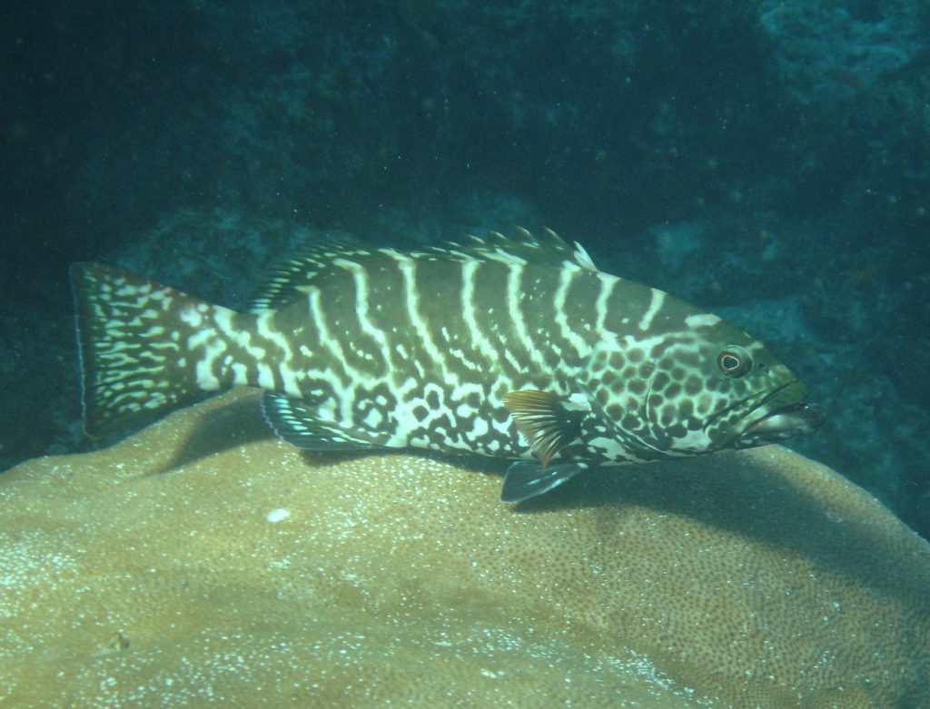 Tiger grouper (<i>Mycteroperca tigris</i>) (M. Richlen)