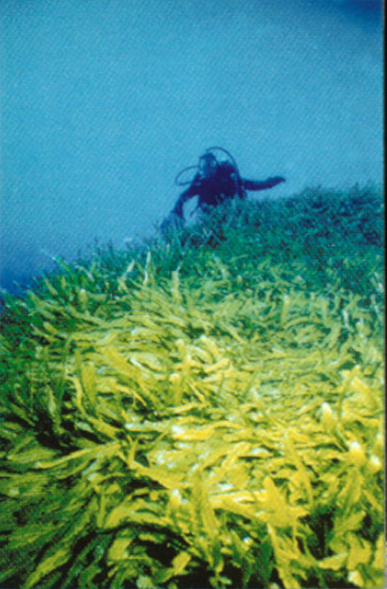 A <i>Caulerpa</i> bloom in the Mediterranean Sea