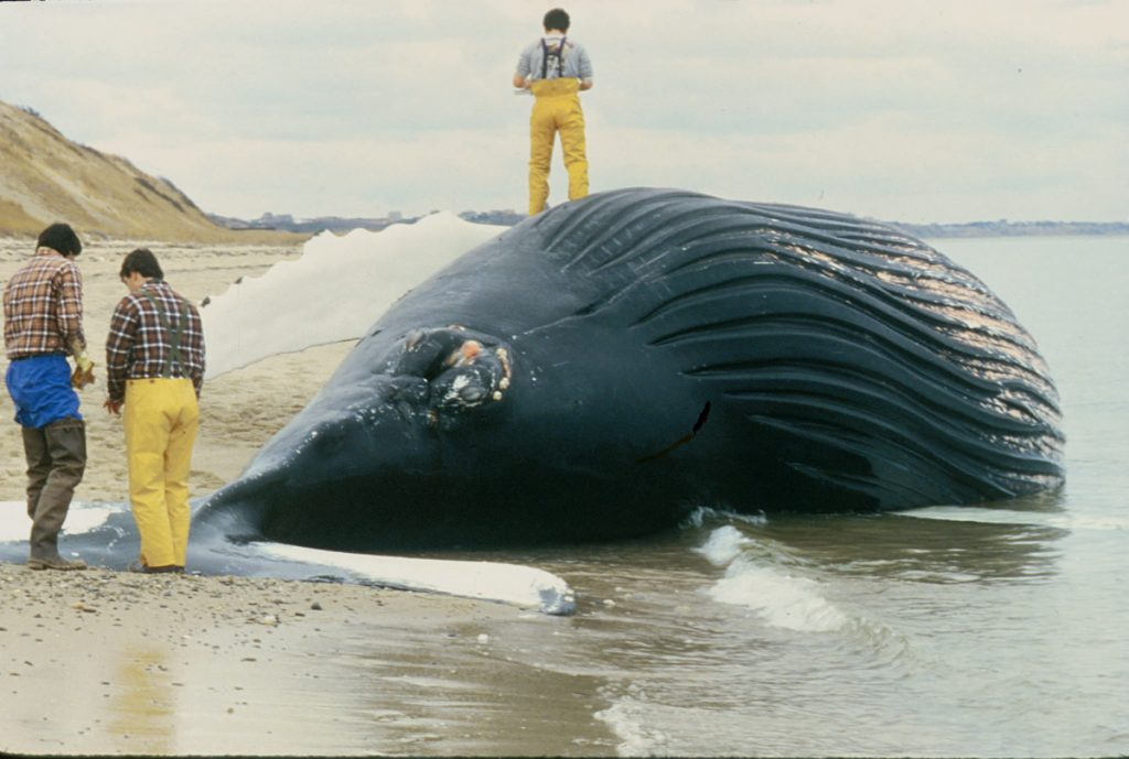 This humpback whale died from saxitoxin which accumulated in the mackerel it was eating. (G. Early)