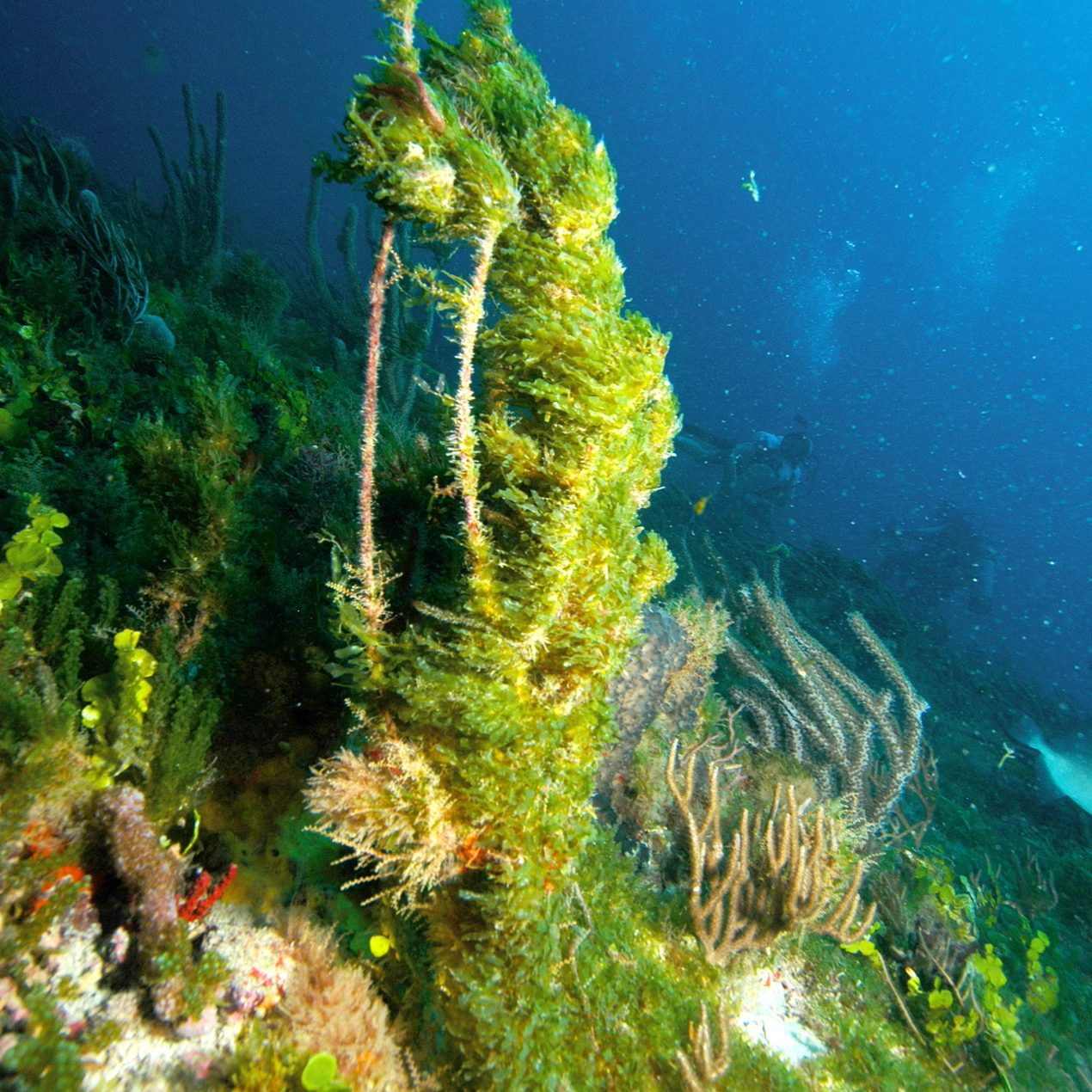 Expansive blooms of several <i>Caulerpa</i> spp. occurred off the Florida coast in 1997 and 2001