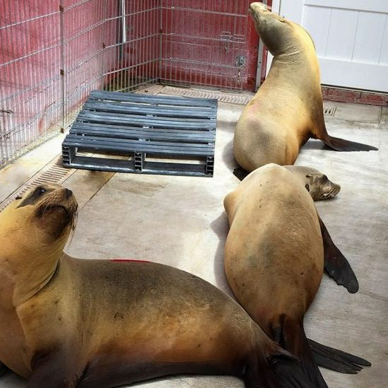 Rehabilitation of sea lions recovering from domoic acid intoxication in 2017.  During that stranding season, the Pacific Marine Mammal Center (PMMC) rescued almost 60 sea lions that displayed classic symptoms of domoic acid intoxication, including a dozen pups born prematurely from a DA poisoned mother. (photo used with permission by PMMC).