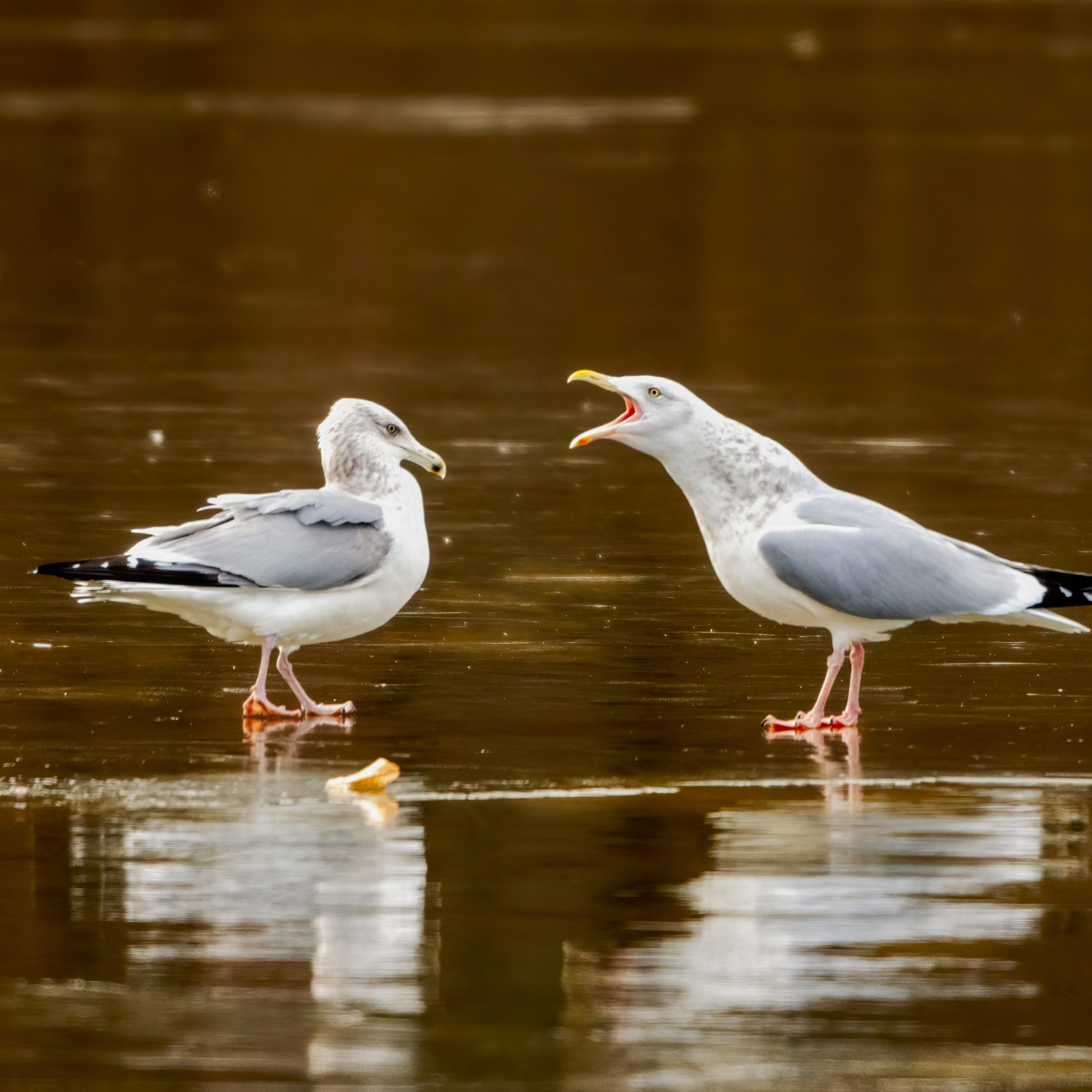 Herring Gulls are among the many seabird species impacted by PSP toxins. (T. Nord)