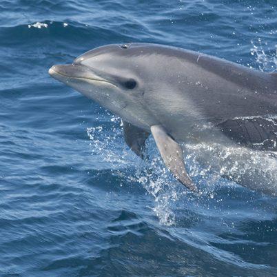 bottlenose_dolphin3_square