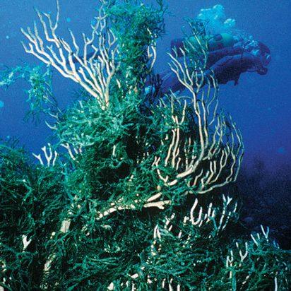 Codium Florida diver